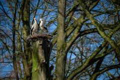 ooievaar-zoo-planckendael-jonas-verhulst-24032020-5-2