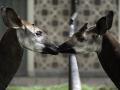 fotolink-okapi-qira (5)