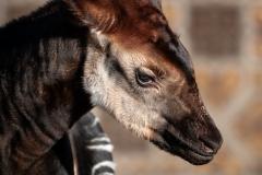 okapi-ubundu-zoo-antwerpen-jonas-verhulst-15022019-2