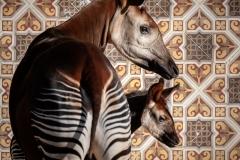 okapi-ubundu-zoo-antwerpen-jonas-verhulst-15022019-6