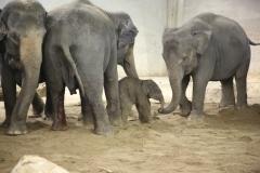 Pairi-Daiza-baby-elephant