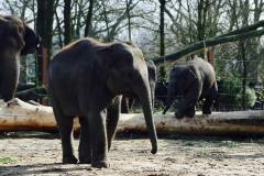 Elephants_Pairi Daiza3