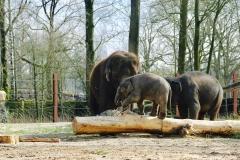 Elephants_Pairi Daiza4