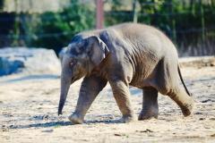 Elephants_Pairi Daiza6