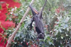 Giant Bats_Pairi Daiza6