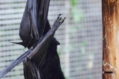 Giant Bats_Pairi Daiza7