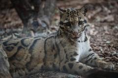 Panther_Pairi Daiza4