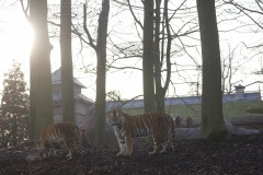 Tigres-de-Siberie-Pairi-Daiza