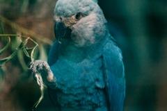 Spix-macaw-