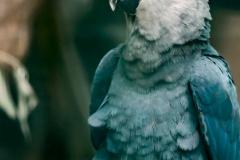 Spix-macaw-2