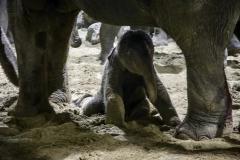 Pairi Daiza-Benoit Bouchez-ElephantBaby - 1