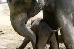 Pairi Daiza-Benoit Bouchez-ElephantBaby - 5