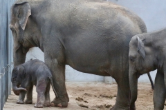 Pairi Daiza_ElephantDay14