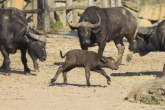 African-Buffalo-1