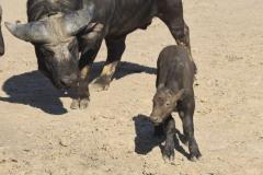 African-Buffalo-3