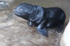 Brown-Fur-Seal-1