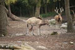 Père-Davids-Deer-1
