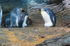 koningspinguin-u-zoo-antwerpen-25092019-1