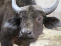 Pairi Daiza _buffle du cap-Kaapse buffel