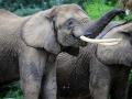 Pairi Daiza_ Elephant d'Afrique-Afrikaanse olifant1