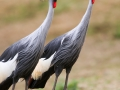 Pairi Daiza_Grues-Kraanvogels