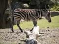 Pairi Daiza_Zebre-Zebra1
