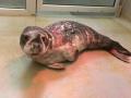 7 december grijze zeehond blankenberge