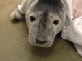 7 december grijze zeehond de haan