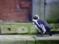 Pairi Daiza_Manchots-Pinguins1