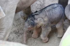 WILDLANDS olifant geboren 3