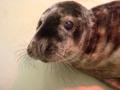 Grijze zeehond Westende 7 februari 2017