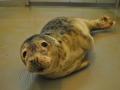 zeehond Oostduinkerke3