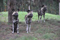 ZooParc_Overloon_Afrikaanse_wilde_honden2-scaled