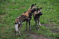 ZooParc_Overloon_Afrikaanse_wilde_honden3-scaled