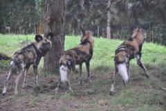 ZooParc_Overloon_Afrikaanse_wilde_honden4-scaled