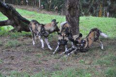 ZooParc_Overloon_Afrikaanse_wilde_honden5-scaled