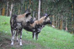 ZooParc_Overloon_Afrikaanse_wilde_honden6-scaled