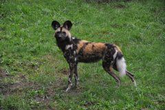 ZooParc_Overloon_Afrikaanse_wilde_honden7-scaled